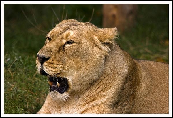 Panthera leo by urdygurdy