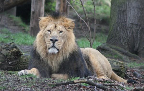Lion by DebQ