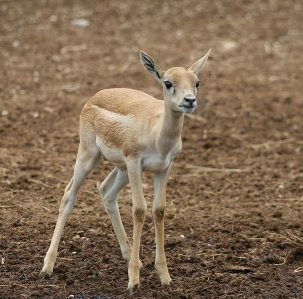 Deer by DebQ