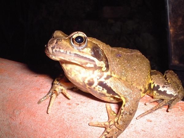Frog 2 by Bazman