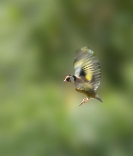 Goldfinch by Emmog