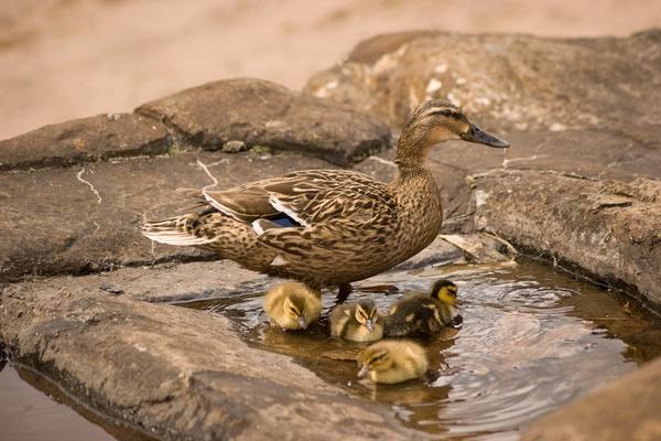 Ducks by davey_griffo