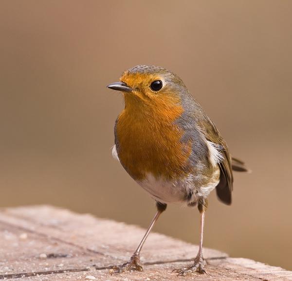 Robin Red Breast by paulrosser