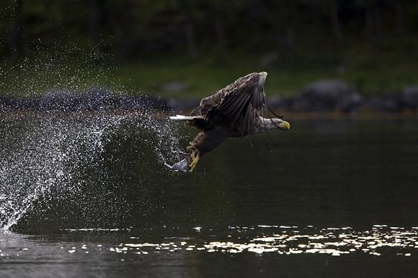 Sea eagle take by Enmark