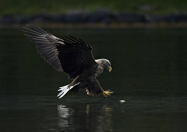 White tailed sea eagle by Enmark