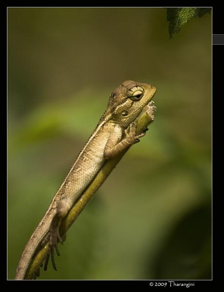 Common Garden lizard by tharang_b9