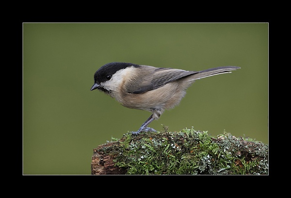 Willow Tit by NigelKiteley