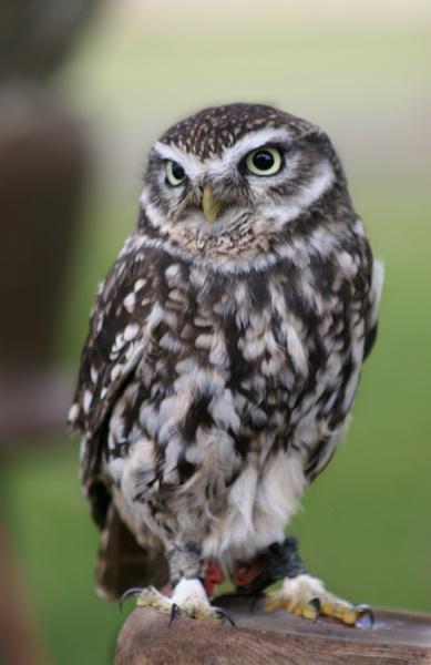Brown Owl by GordonLack
