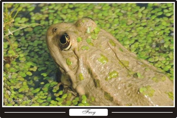Marsh Frog ? by ChrisB53