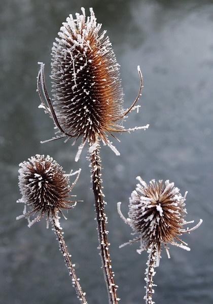 Hoar Frost Teasels in Teesdale by MichaelTuska