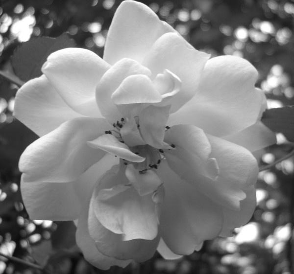 B&W rose by Tash_hares