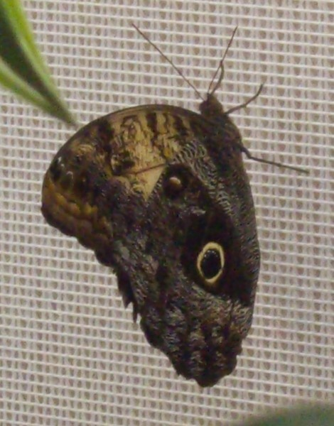 owl butterfly by Tash_hares