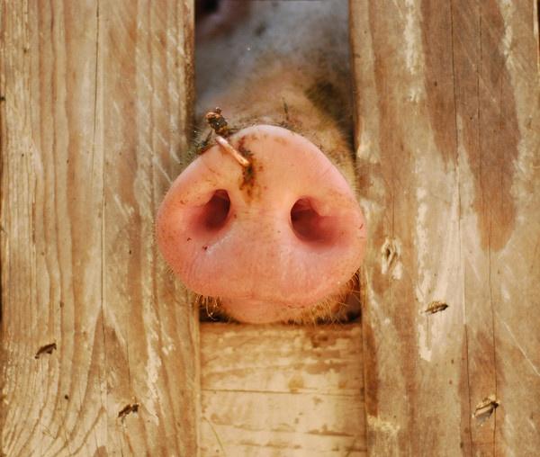 pig by vasile_covaciu