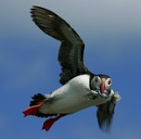 May Puffin