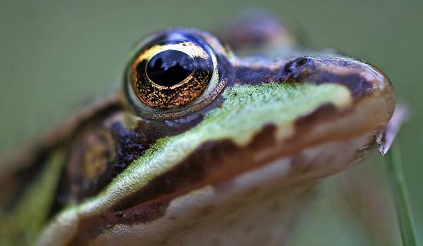 French Frog by GarryRobert