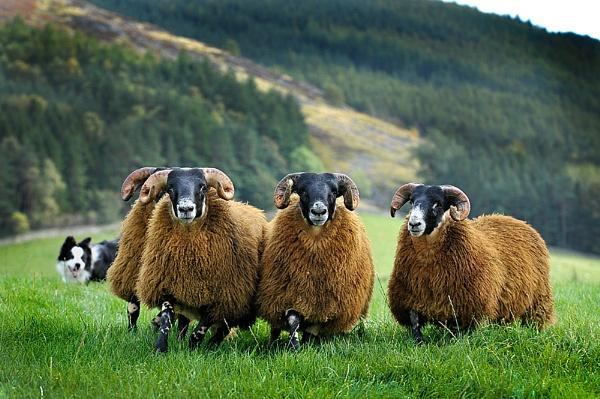 farm sheep.... by digitalpic
