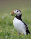Puffin with grass