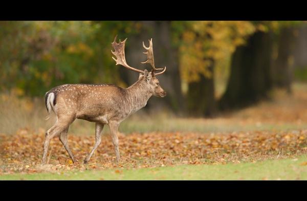 Fallow Deer by John_Wannop