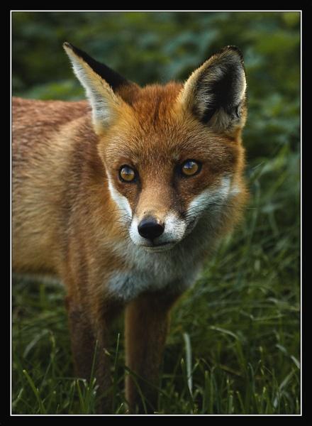 foxy by bumbleb3