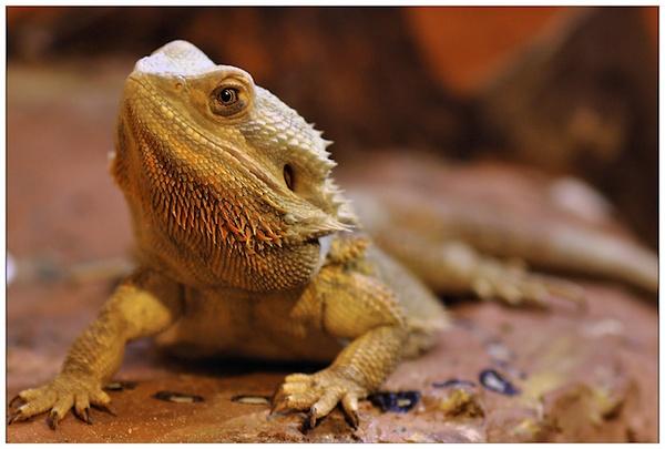 Bearded Dragon by mjstead