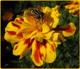 Hoverfly on Marigold II