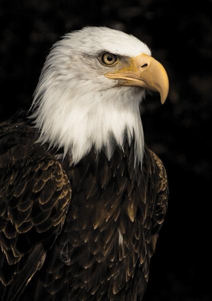 Bald eagle by Cazi