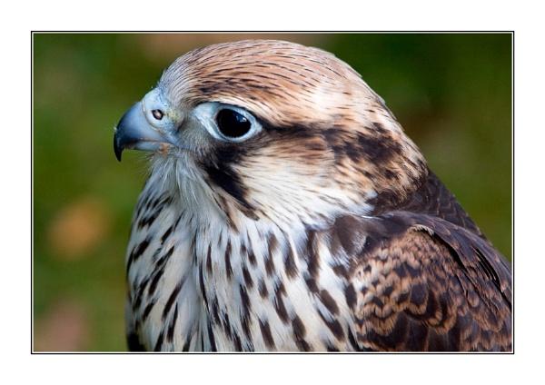 Saker Falcon by casson