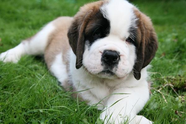St Bernard Puppy by LauraVest