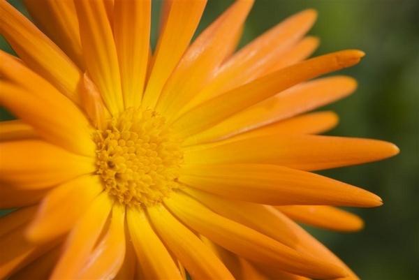 orange flower by Alex_M
