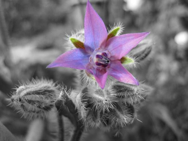 Borage flower 2 by dannyboyok