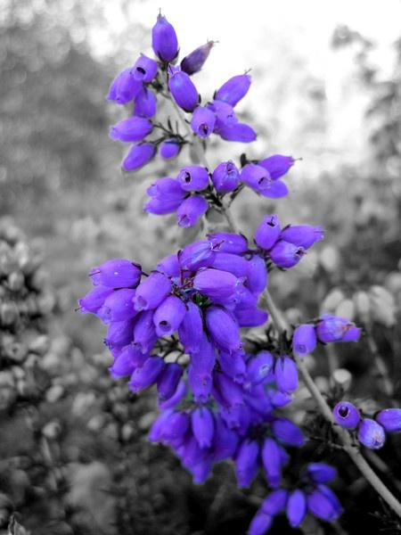 Heather flower by dannyboyok