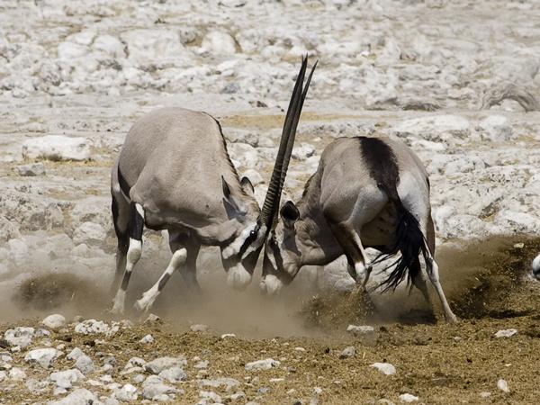 oryx fighting by davemck