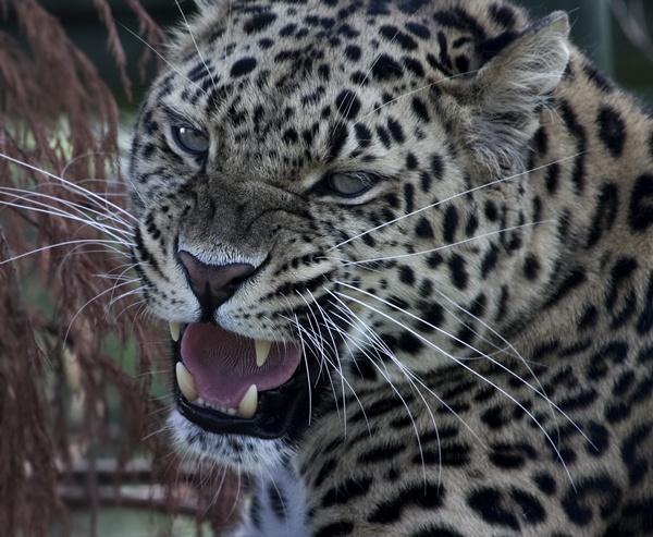 Amur Leopard by pablo69