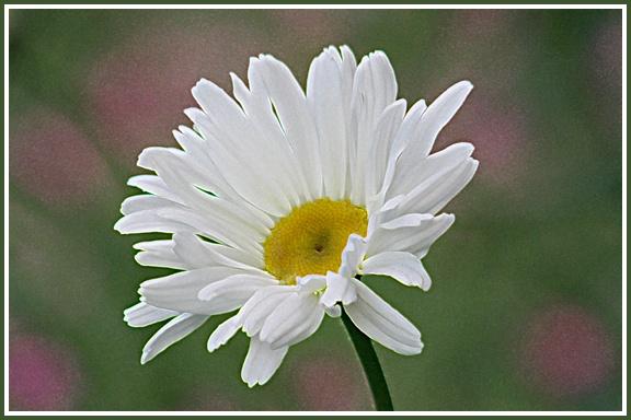 Daisy Head by aliciabeesley