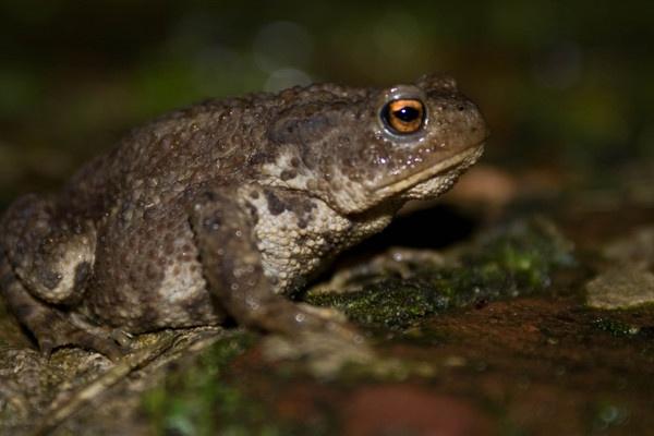 Toad in my garden by Tettie