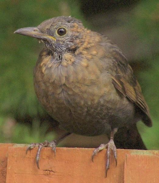 Blackbird Chick by Paul-Collins