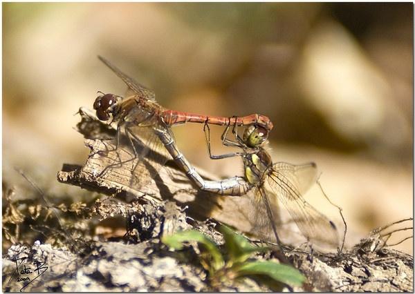 Dragonflies Mating by pberridge