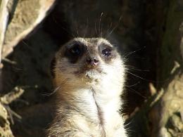 Marwell Meerkat