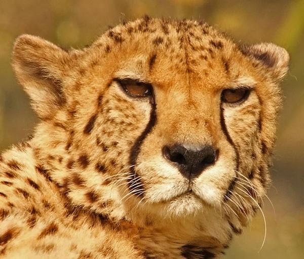 Cheetah by iancam