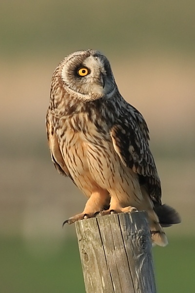 Short Eared Owl by Stuart_B