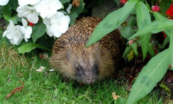 Hedgehog by Bazman