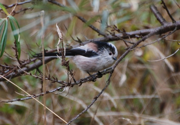 LONG TAILED TIT by Steve_T