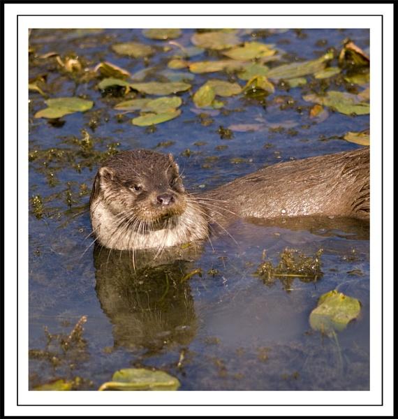 Otter by paddyman