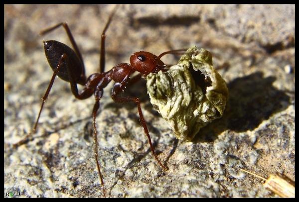 Ant by R3za