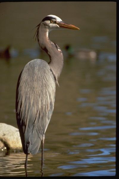 Great Blue Heron by shutterkat