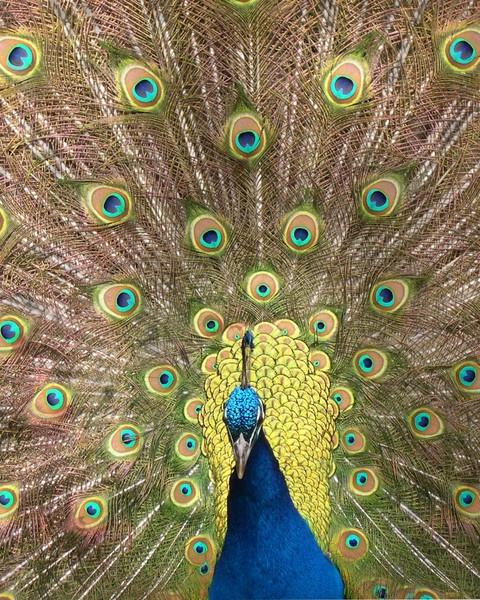 Peacock by shutterkat