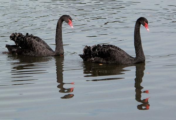 Black Swans by geegee