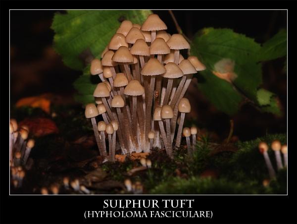 Sulphur Tuft by markharrop