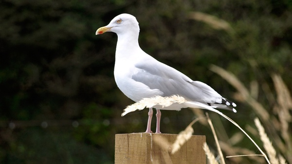 Gull on a post by dragonzeye