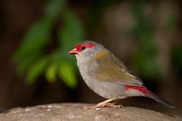 Fire Finch